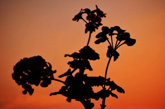 Flower Silhouette During Sunset at Buddhanagar, New Baneshwor, Kathmandu, Nepal