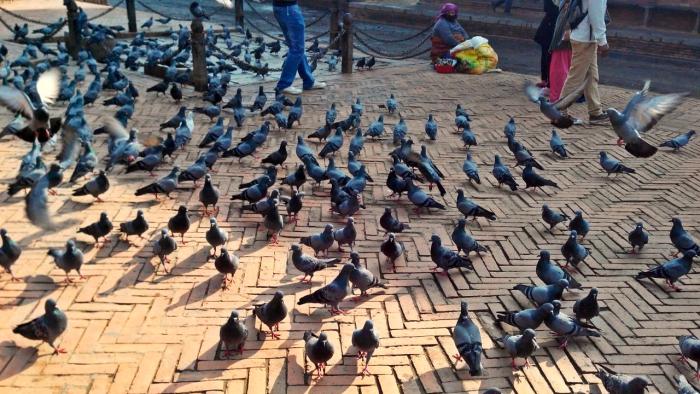 Pigeons in Patan Durbar Square